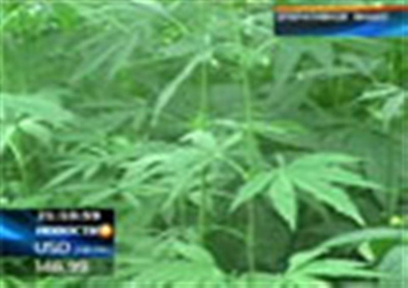 Конопля прямо с грядки. В Алматинской области задержан мужчина, который торговал марихуаной прямо на незаконной плантации