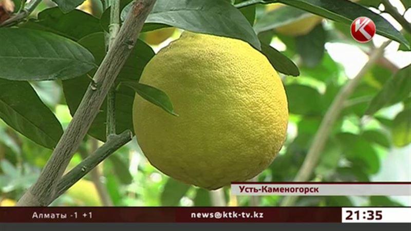 Больше двух тонн лимонов собрала жительница Усть-Каменогорска