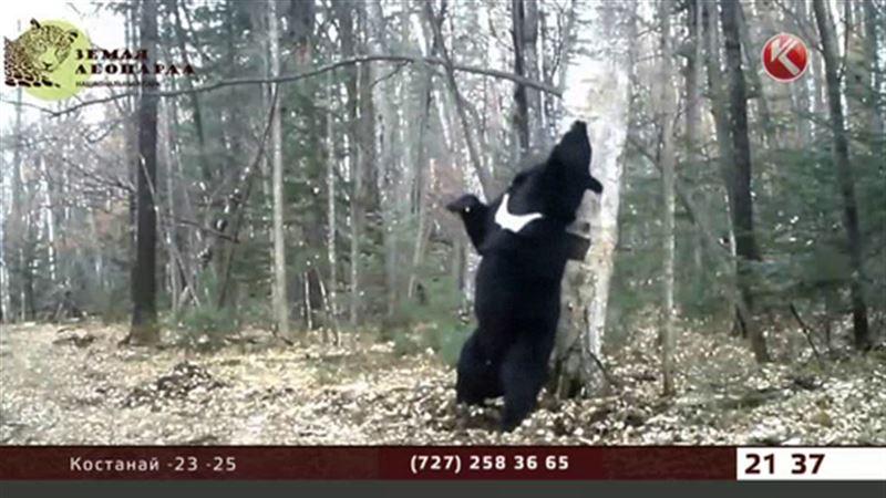 Видео с танцующим медведем стало хитом интернета