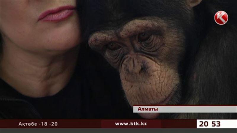 Алматы зообағындағы маймылдар фильм көріп ән тыңдауда