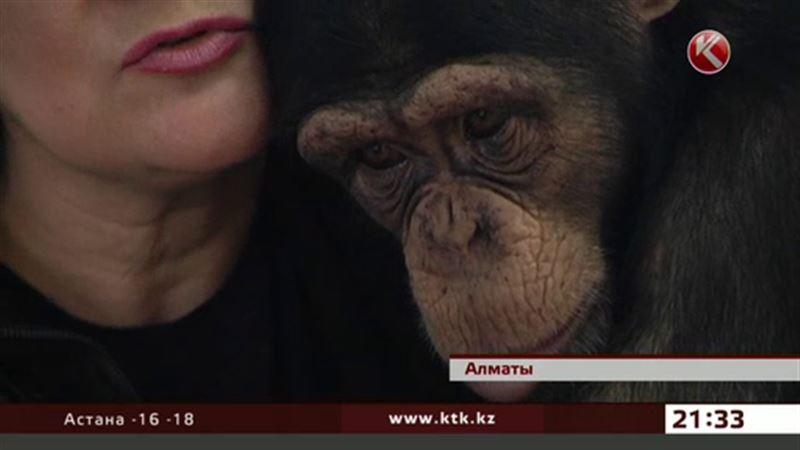 Шимпанзе из алматинского зоопарка стала активной телезрительницей
