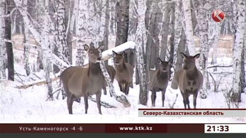 В СКО лесники подкармливают диких животных