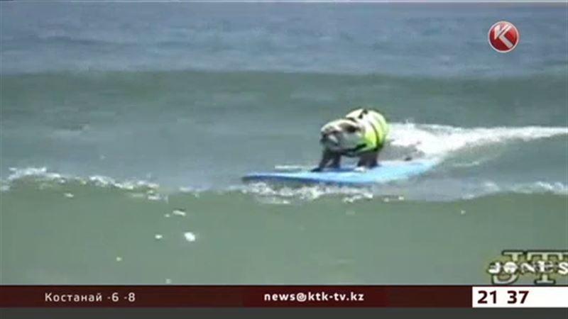 Бульдог Бьюф осваивает серфинг