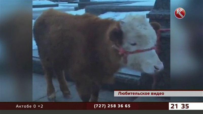 Селфи с буренкой - в центре Астаны кто-то привязал корову