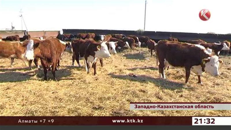 Коров в ЗКО готовят к родам целые научные институты
