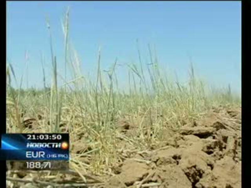 На мировых рынках дорожает пшеница. Цены стремительно растут из-за засухи в Казахстане и в России, а также ливней в Канаде
