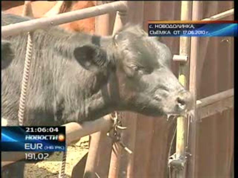 Эпидемия ящура Казахстану больше не угрожает. В Акмолинской  области режим карантина снят