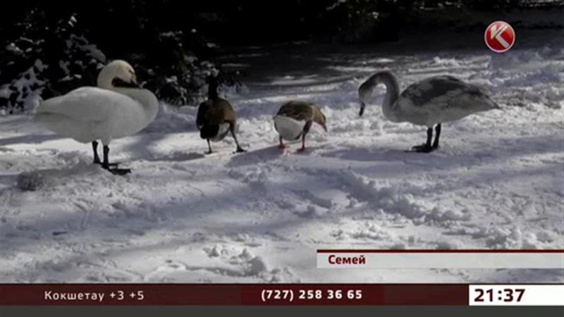 Раненого лебедя приютили в биологическом центре Семея