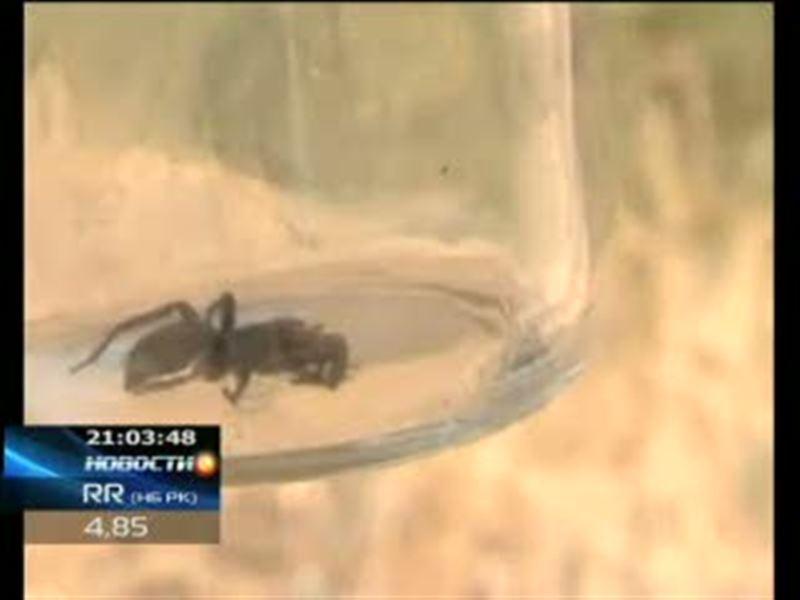 В Актобе нашествие каракуртов. Ядовитые пауки заполонили частный сектор, но чиновники бороться с ними не собираются