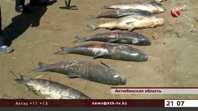 На берегу Шалкара гниет рыба