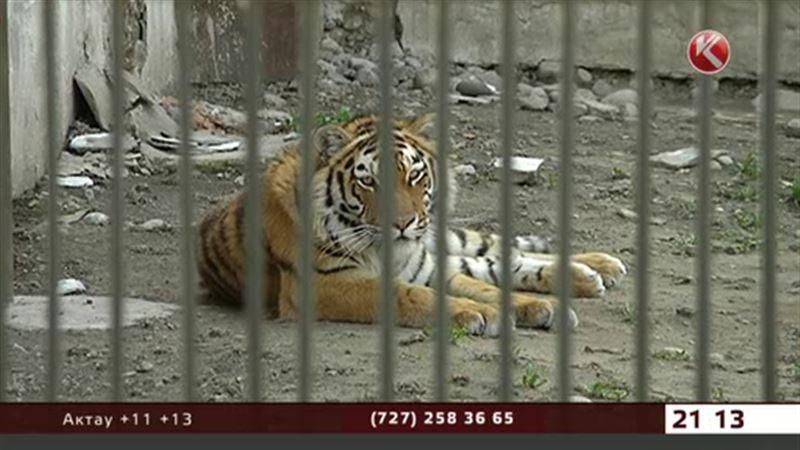 Директор Алматинского зоопарка приторговывал амурскими тиграми