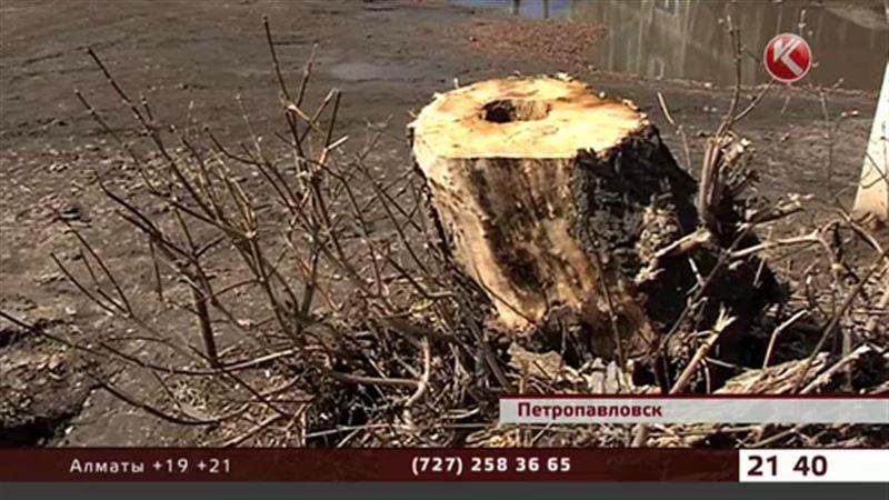 В Петропавловске целый двор рассорился из-за нескольких деревьев
