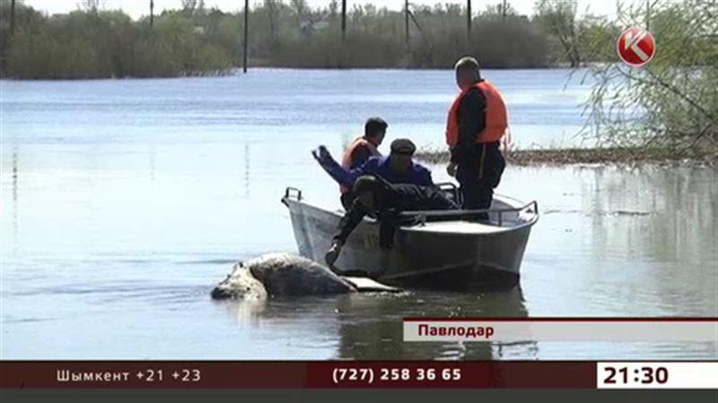 Павлодарские водолазы не хотят вылавливать трупы утонувших коров