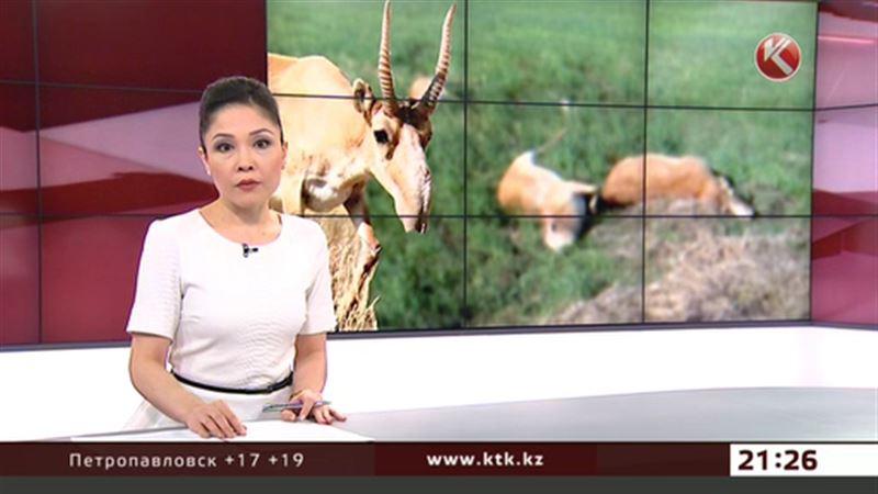 Почти сто сайгаков погибло в Костанайской области