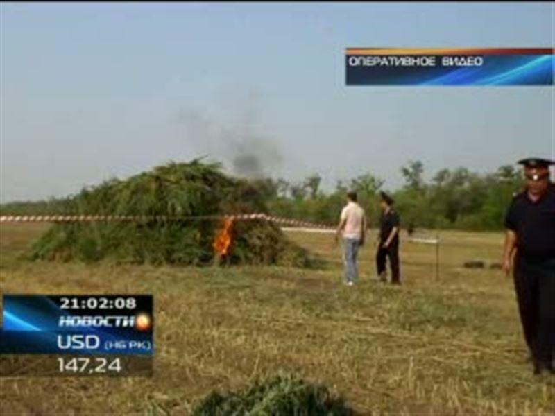Целые плантации конопли обнаружили в Западно-Казахстанской области