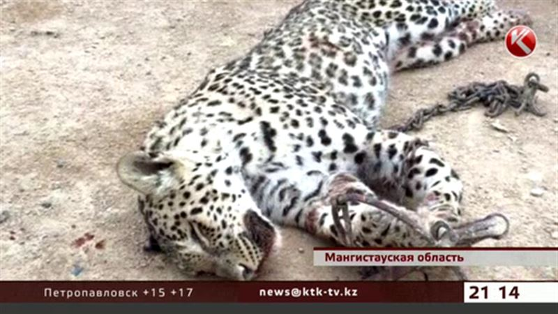 В Мангистау расследуют убийство леопарда