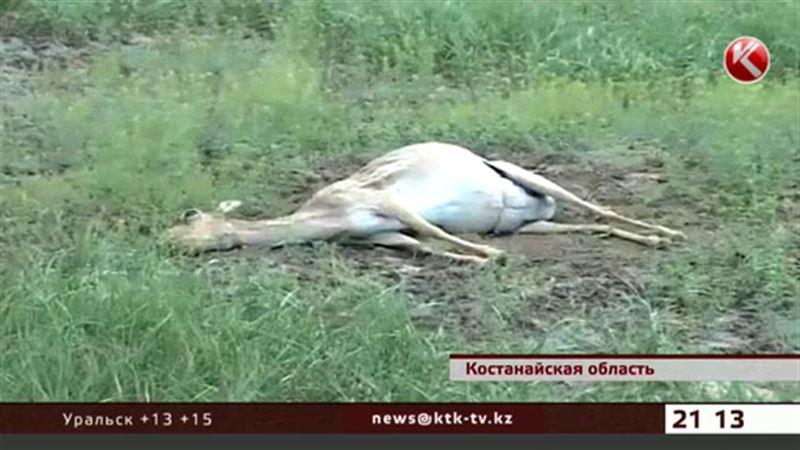 В костанайской степи продолжает гибнуть сайга