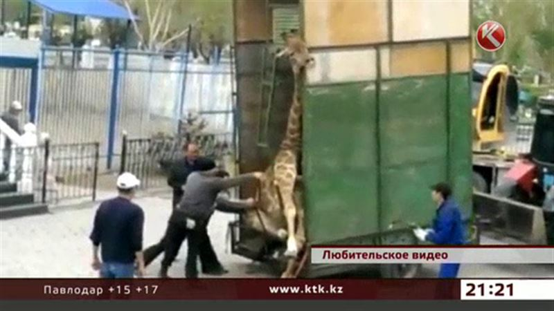 За актюбинского жирафа вступилась полиция