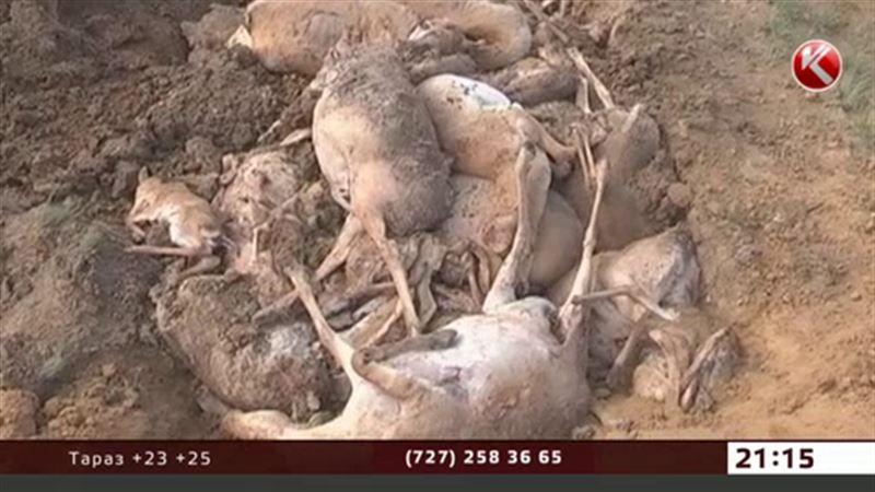 Общественники считают причиной гибели сайги гептил
