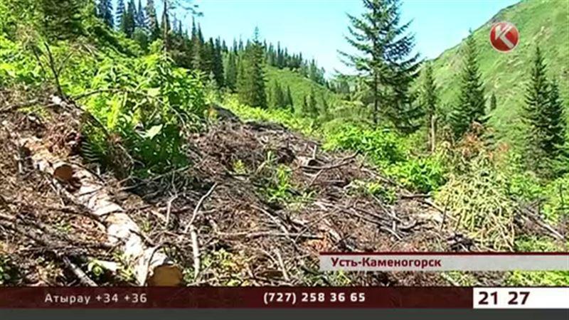 В Горной Ульбинке вырубили лес, оставив сухостой и пни