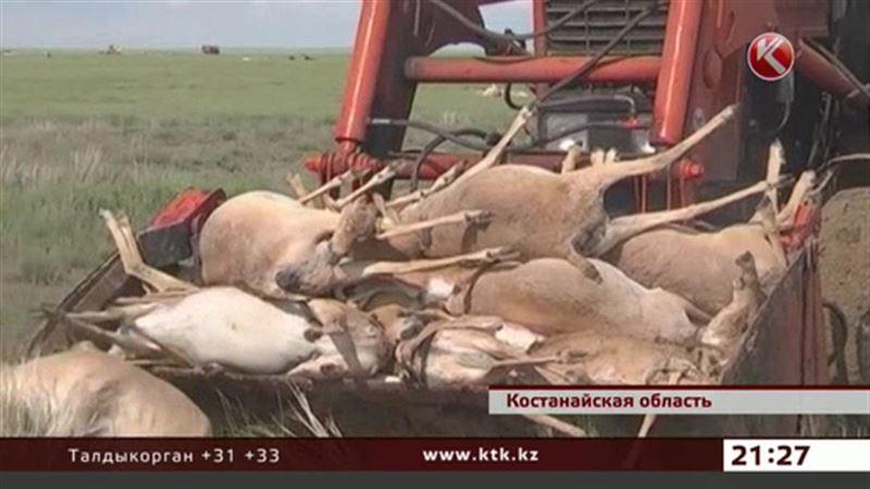 Причину массовой гибели сайгаков могут и не выяснить