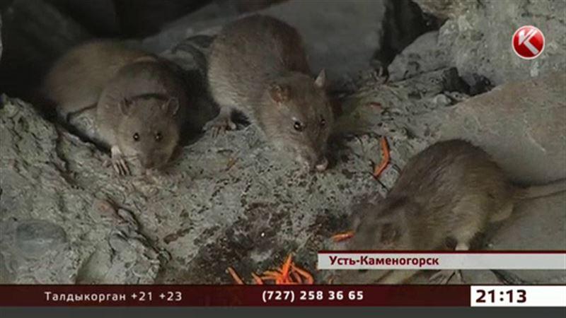 Центр Усть-Каменогорска оккупировали крысы