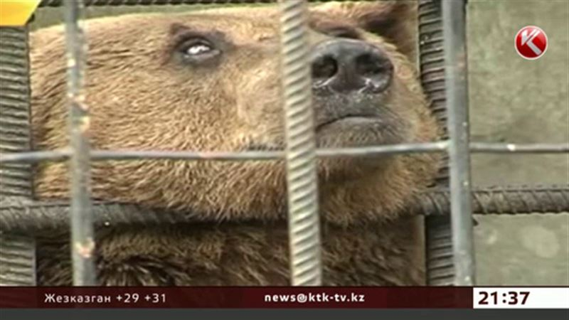 Медведей-алкоголиков отправят на реабилитацию