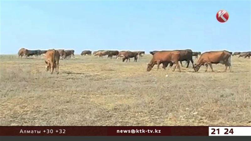 Падеж скота в Актюбинской области: версии закончились