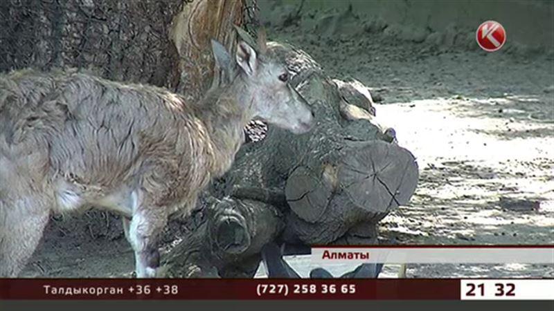 Голубые бараны обживаются в алматинском зоопарке