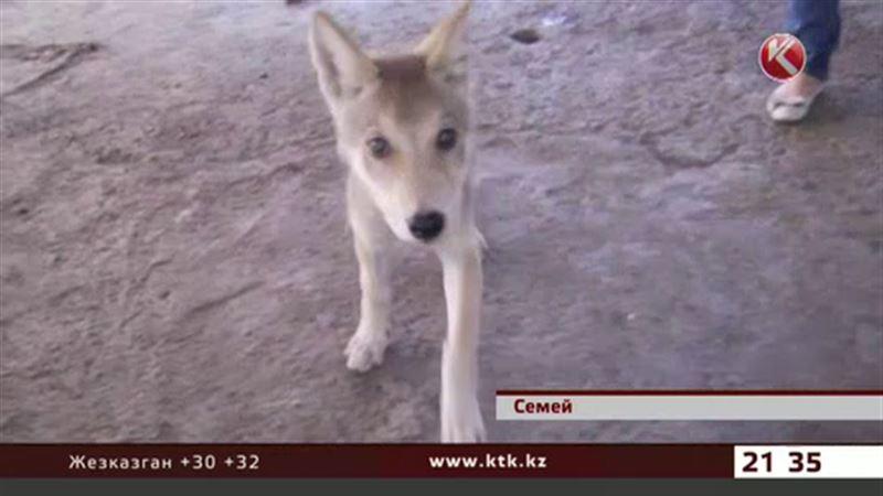 Дикого волчонка приютили в биоцентре Семея