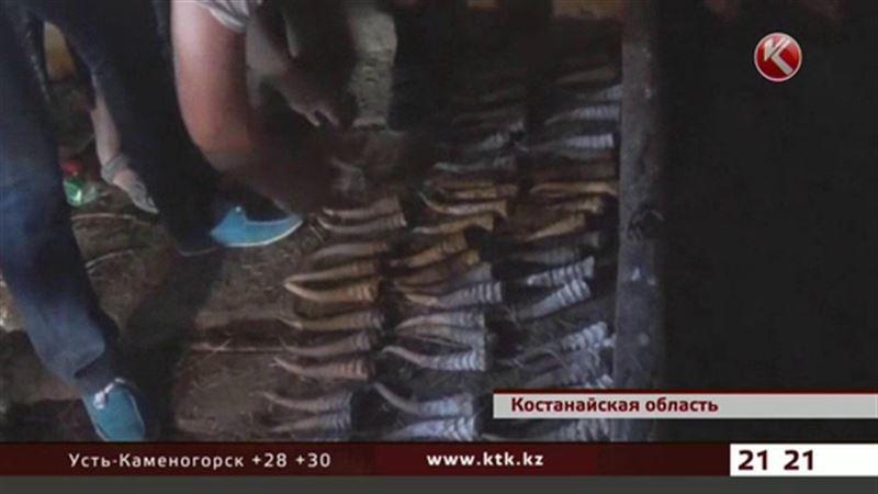 Волонтеры продолжают похищать рога павших сайгаков