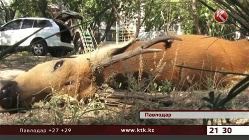 Причиной гибели косули в Павлодаре стал сторожевой пес