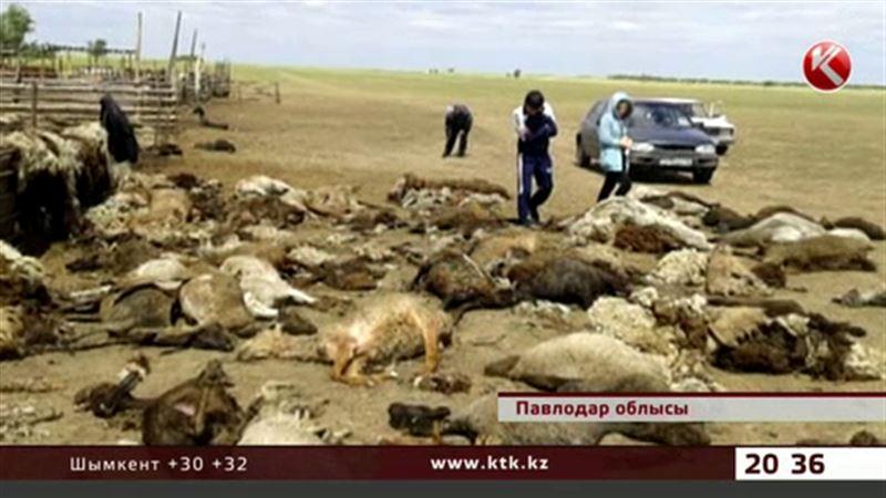 Павлодар облысында мал қырылып қалды