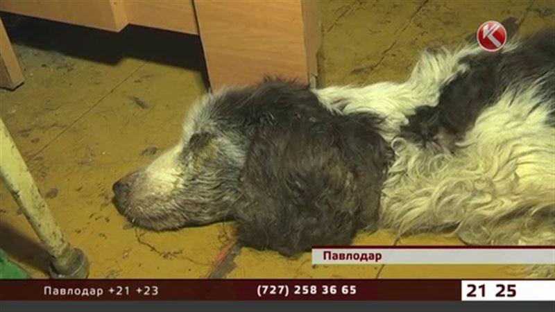 Павлодарцы спасали собаку, которая целый месяц умирала в одной из многоэтажек