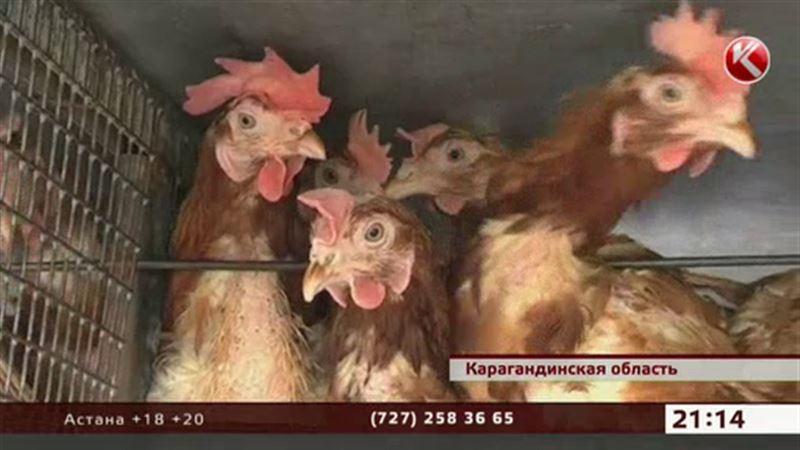 В Караганде «уволили» 150 тысяч куриц