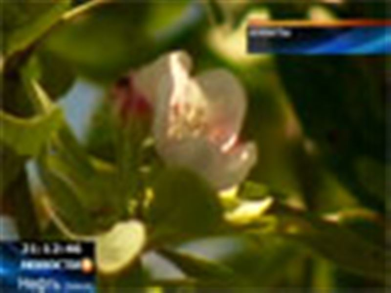 В Алматы неожиданно во второй раз за год зацвела яблоня
