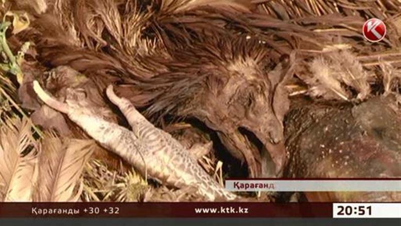 Қарағандының түбінде 200-ге тарта тауықтың өлексесі табылды