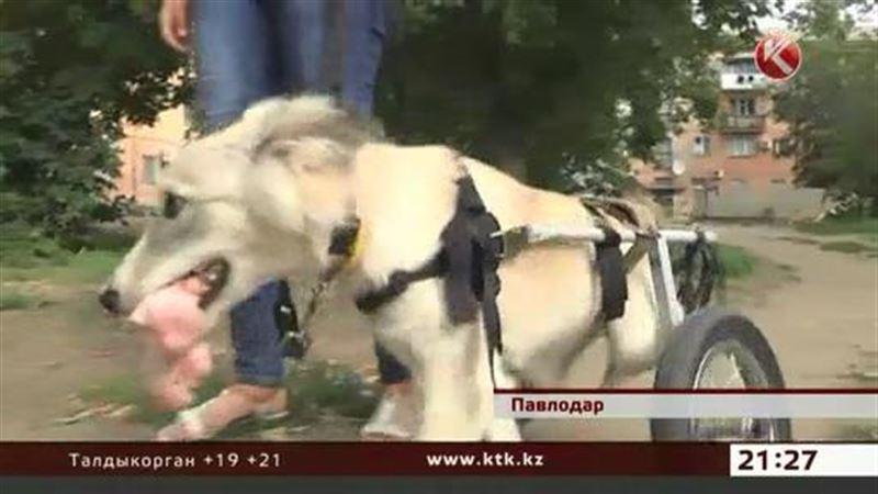 Павлодарские защитники животных поставили покалеченную собаку на колес
