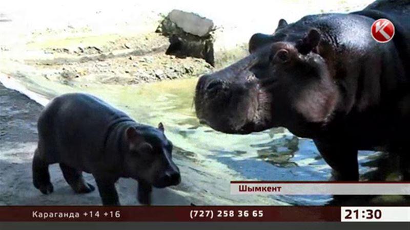 Шымкентские бегемоты, несмотря на большую разницу в возрасте, обзавелись потомством