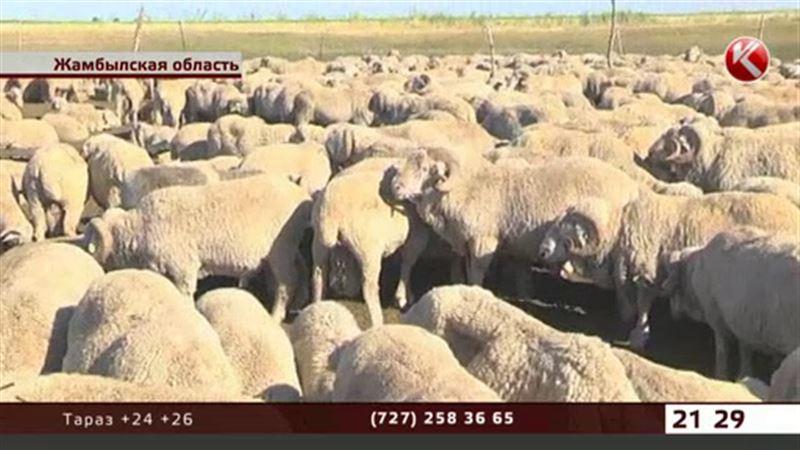 Жамбылский чабан заявляет, что больные бруцеллезом животные не уничтожаются