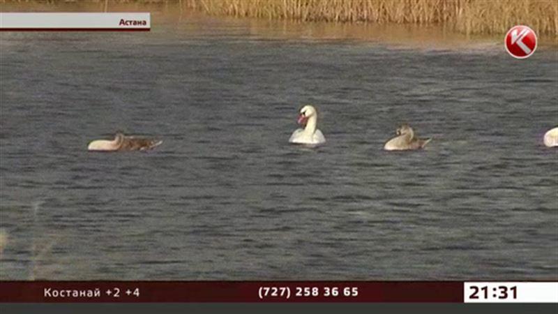 Окраину Астаны облюбовало лебединое семейство