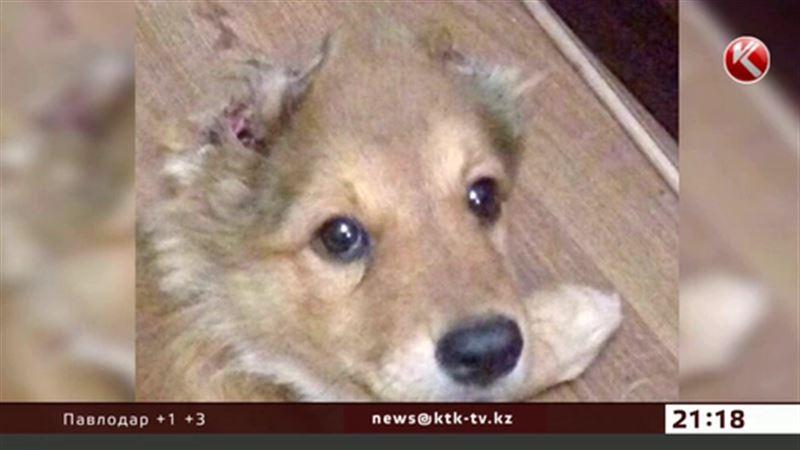 Отрезанные у щенка уши и хвост будут уликами в деле актауских школьников