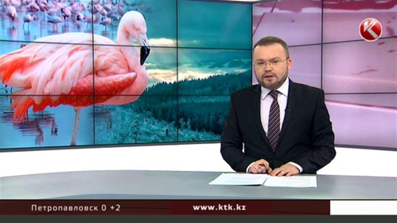 Розовые фламинго из Казахстана неожиданно прилетели в Сибирь
