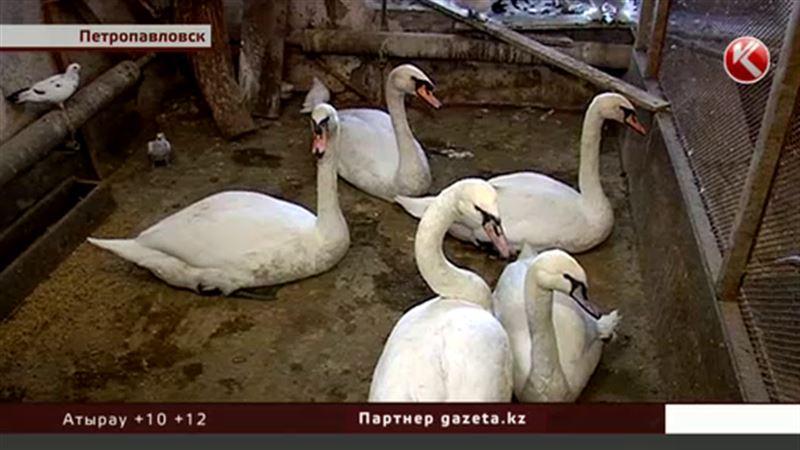 В ботаническом саду Петропавловска нечем кормить лебедей и пеликанов