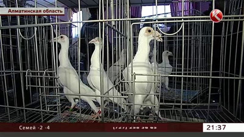 Конкурс красоты среди голубей прошел в Казахстане