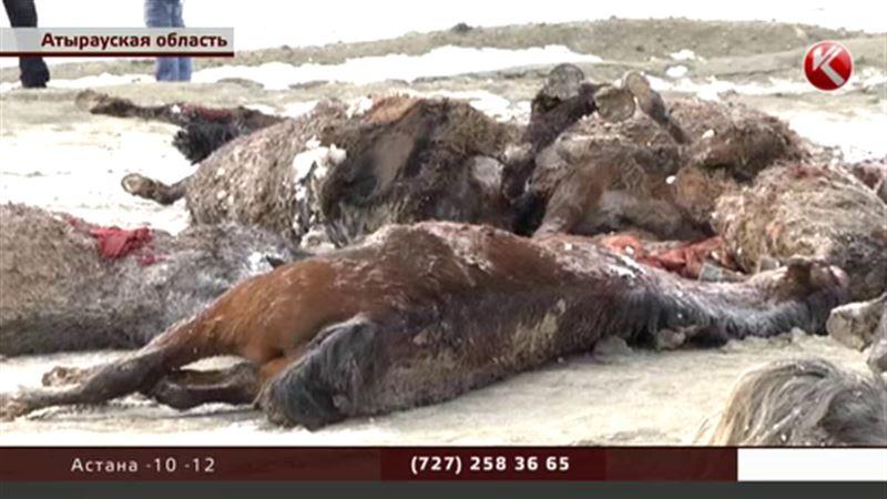 В Атырауской области 50 лошадей погибли в яме, вырытой нефтяниками