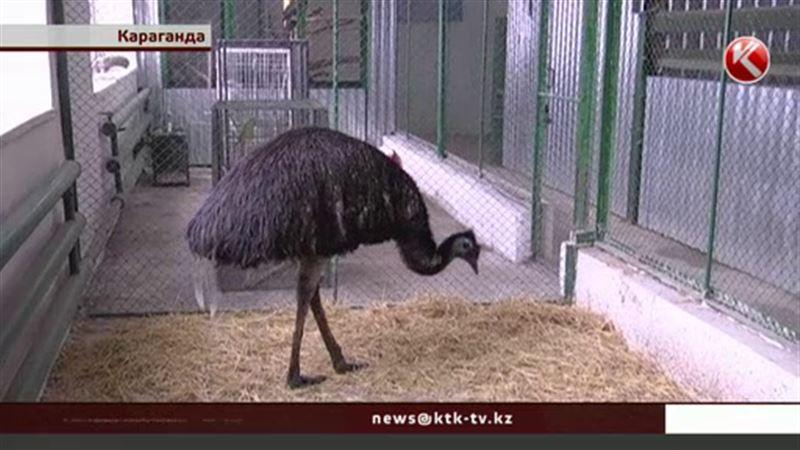Страус из карагандинского зоопарка метит в Книгу рекордов Гиннеса