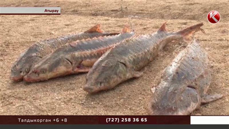 Атырауские браконьеры  поражают своей изобретательностью