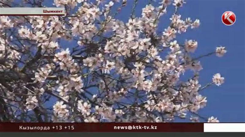 В Шымкенте зацвели фруктовые деревья