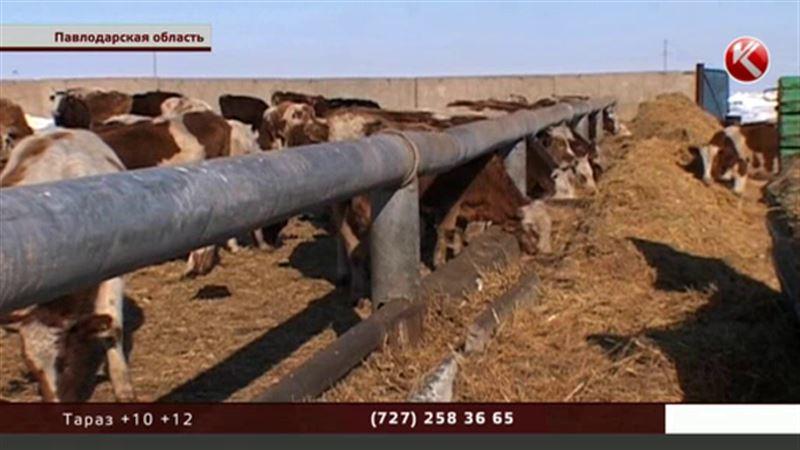 В Павлодарской области появятся штрафстоянки для коров